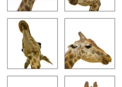 Ashlie Hill giraffe