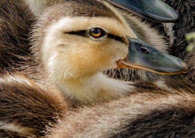 Gary Morris quack